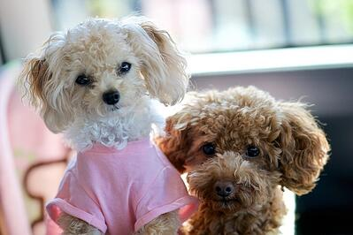 toy-poodles