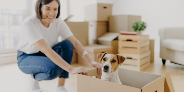 Jack Russell Terrier sitting in moving box