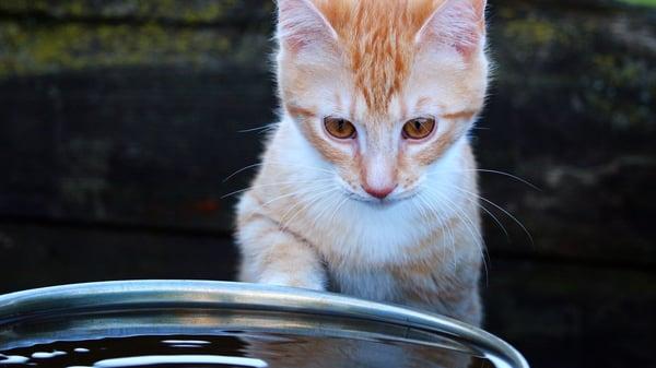 Kitten Looking at Water Dish.jpg