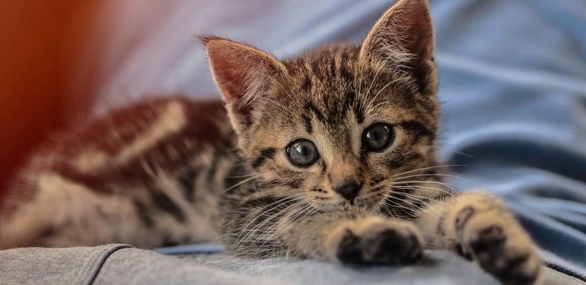 Kitten on Blankets
