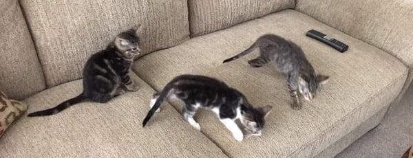 Kittens-Barry-Raja-ZsaZsa