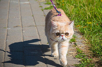 Leash Walking Cat on Path