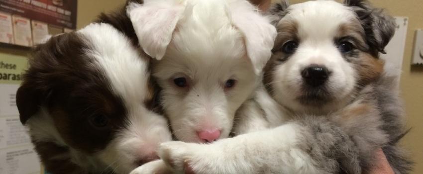 Litter-of-three-puppies.jpg