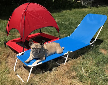 Marshall the Frenchie laying next to his canopy bed