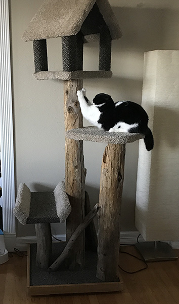 Mazel scratching on his cat tree