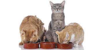 Multiple Cats Eating