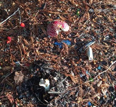 Mushroom-toxicity-dog-amanita-muscaria