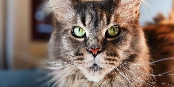 Old cat with arthritis-unsplash