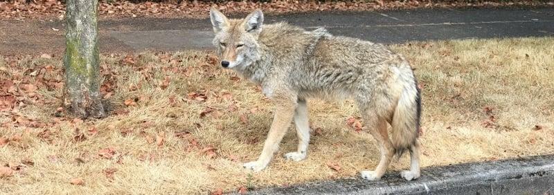 coyote on walk