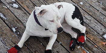 Pit Bull Wearing Boots.jpg