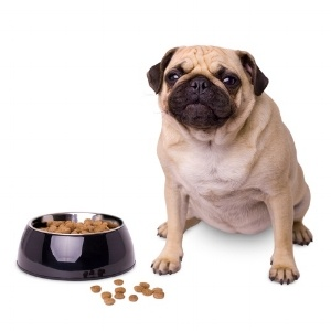 Pug-weight-management.jpg
