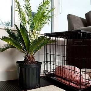 Sago palm is deadly for pets