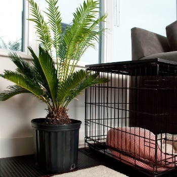 Sago-Palm-Pet-Danger