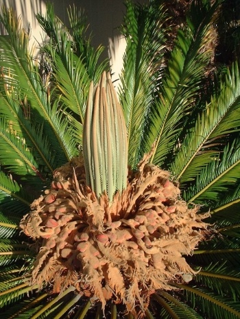 Sago-palm-seeds