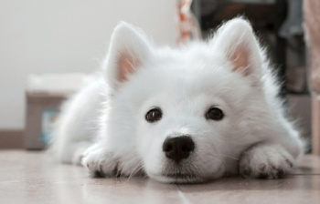 Samoyed-puppy-waiting.jpg