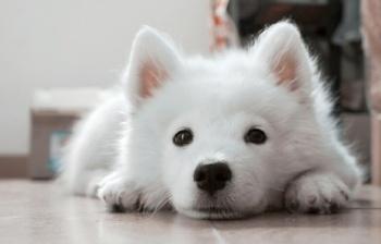 Samoyed-puppy-waiting