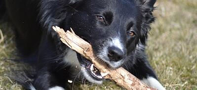 Sticks are not good chew toys for dogs