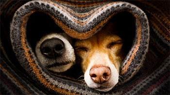 Two dogs cuddling under a blanket