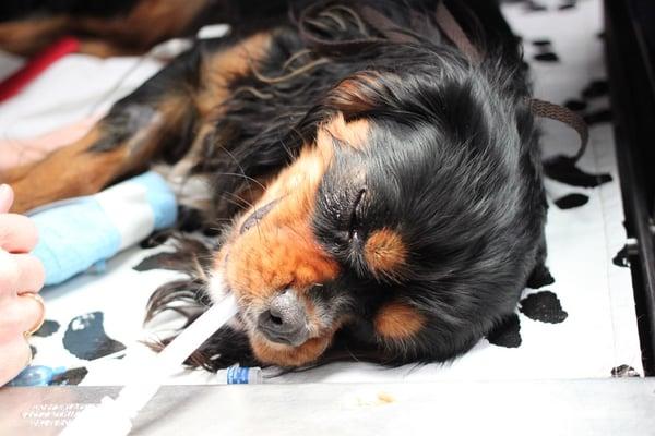 Dog-henri-tail-surgery