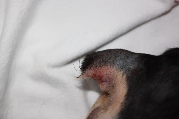 dog-tail-amputation