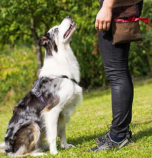 border collie sitting in front of dog trainer