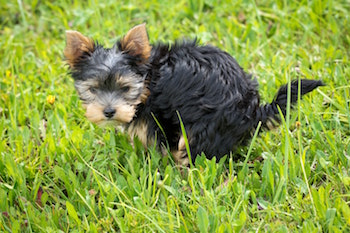 puppy-potty-in-grass