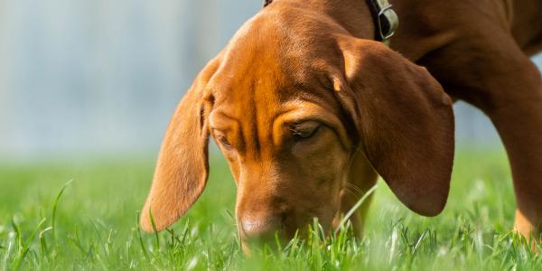 Visla puppy sniffing something on ground