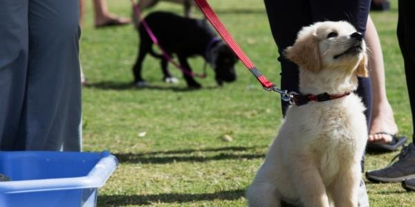 Young golden retriever puppy sitting nicely on leash in puppy class