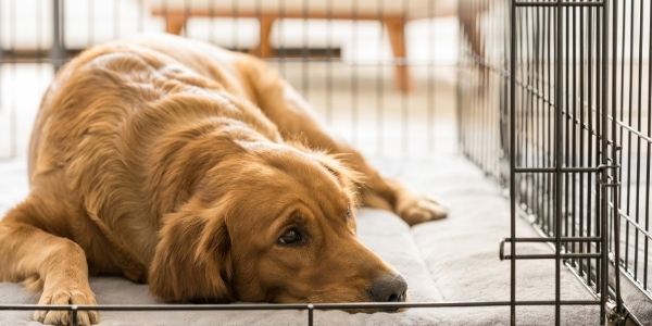 adult golden retriever resting in dog crate