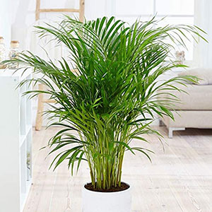 areca palm indoor plant ok for pets