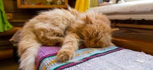 senior cat with arthritis