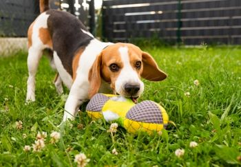 beagle playing with toy in backyard