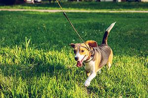 beagle training outside