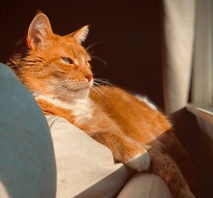 beautiful orange cat looking out window