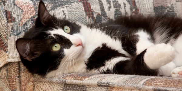 black and white cat resting on couch