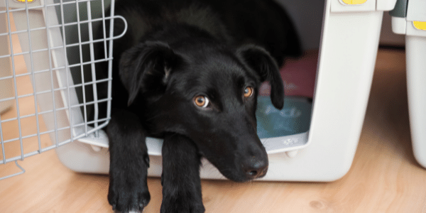 black dog with brown eyes resting in open crate