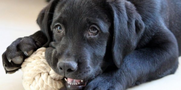 black lab chewing on toy