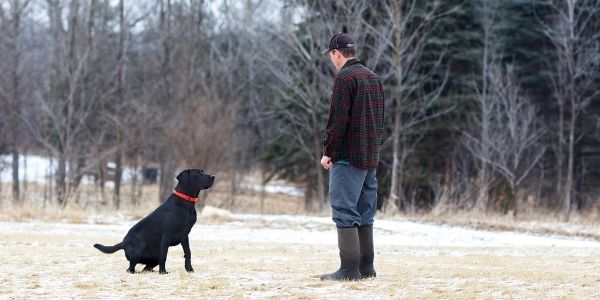 black lab holding a sit stay as owner adds distance
