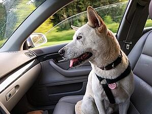 Dog in front seat wearing harness