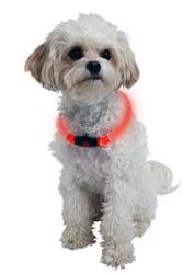Dog with Nite Ize Collar