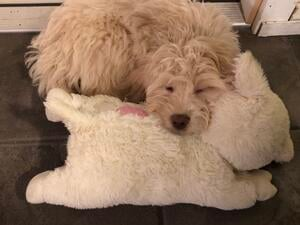 Mary Berry laying on Snuggle Puppy