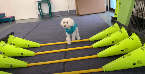 Senior dog rehab with cones