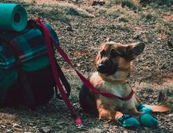 dog by hiking backpack