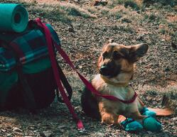 dog by hiking backpack