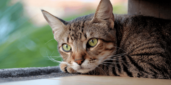 prevention of urinary obstruction in cats