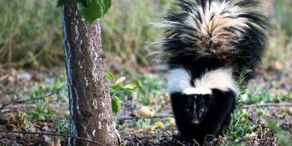 skunk ready to spray dog and cat-unsplash