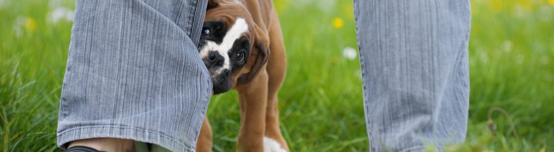 boxer-puppy-biting-nipping
