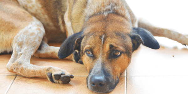 brown and tan dog laying on tile floor looking lethargic