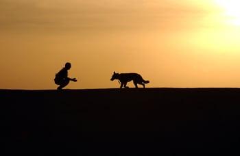 canine-dog-german-shepherd-38284