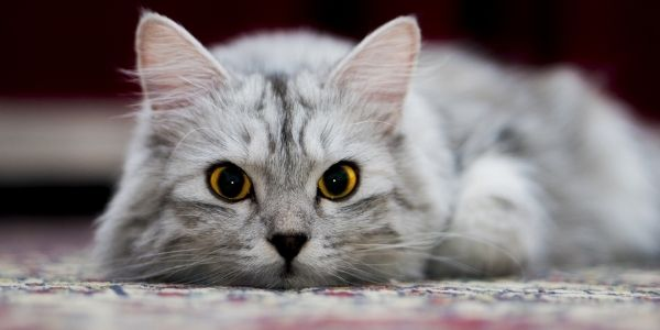 cat lying on rug with piercing yellow eyes